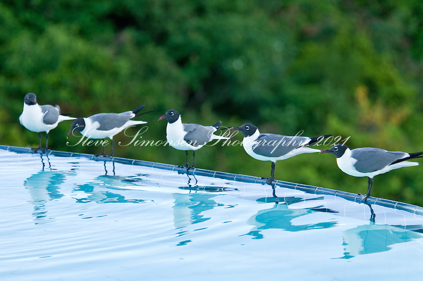 Laughing Gulls on the edge of an <br /> infinity pool<br /> Virgin Gorda<br /> British Virgin islands