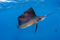 Atlantic sailfish, Istiophorus albicans, hunting sardines off Yucatan Peninsula, Mexico, Caribbean Sea, Atlantic Ocean; sailfish has scars from recreational catch-and-release fishery