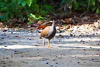 Orange-Footed Scrubfowl, Daintree NP, Queensland, Australia
