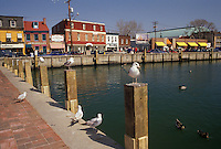 AJ3317, Annapolis, Maryland, Seagulls sit along the harbor at City Dock in the capital city of Annapolis in the state of Maryland.