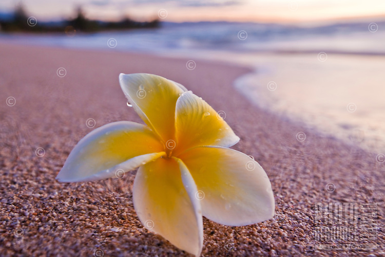 Plumeria on the beach at sunset