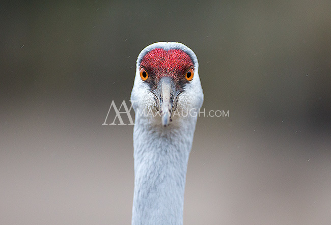 Sandhill cranes are a common sight at Reifel Bird Sanctuary.  They are acclimated to humans and very tolerant because visitors are allowed to purchase bird seed and feed them.  I do not purchase seed or feed the animals when I visit Reifel.