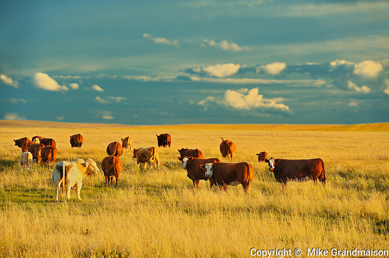 Cattle - <br /> Hodgeville<br /> Saskatchewan<br /> Canada