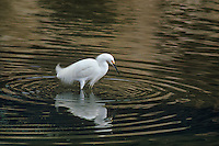 525158010 a wild breeding plumaged snowy egret egretta thula stands in a shallow estuary feeding in santa barbara county california