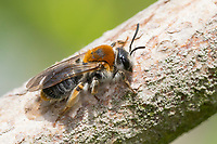 Rotschopfige Sandbiene, Rotfransige Sandbiene, Rotschwanz-Sandbiene, Sand-Biene, Sandbiene, Wildbiene, Weibchen, Andrena haemorrhoa, syn. Andrena albicans, Orange-Tailed Mining-Bee, Orange-Tipped Mining-Bee, female, mining bee, Andrenidae, Sandbienen, female, mining bees, burrowing bees, mining bee, burrowing bee