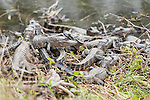 Columbia Ranch, Brazoria County, Damon, Texas; a dozen or more baby American Alligators (Alligator mississippiensis) resting on top of one another, on the bank at the water's edge