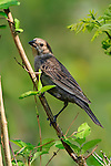 A Bird, The Brown Headed Cowbird Female, Molothrus ater