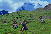 Bighorn sheep amd Mt. Athabasca<br />
