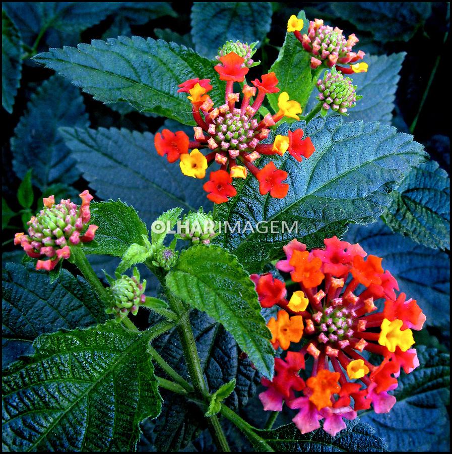Flores. Verbena-arbustiva, cambará ( Lantana camara). SP. Foto de Manuel Martins