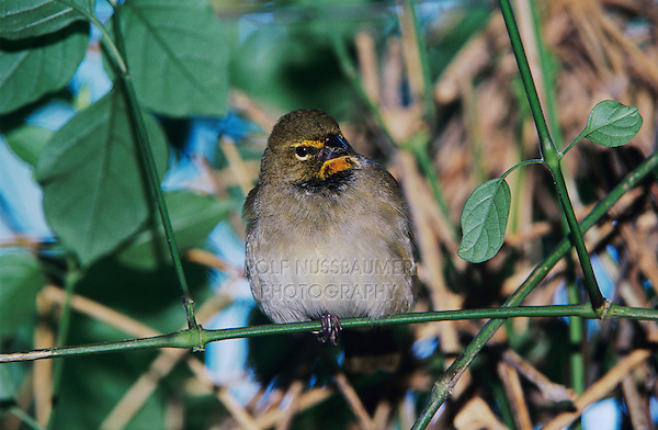 Yellow-faced Grassquit, Tiaris olivacea, female, Rocklands, Montego Bay, Jamaica, Caribbean