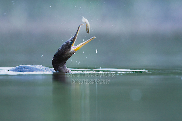Double-crested Cormorant (Phalacrocorax auritus), adult with fish prey, Rio Grande Valley, Texas, USA