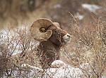 Large Bighorn Sheep ram, lying in the snow