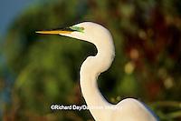 00688-01118 Great Egret (Ardea alba) breeding adult    FL