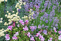 Perfume Garden: Lavandula herb English lavender, scented geranium Pelargonium, santolina, fragrant garden plants and herbs