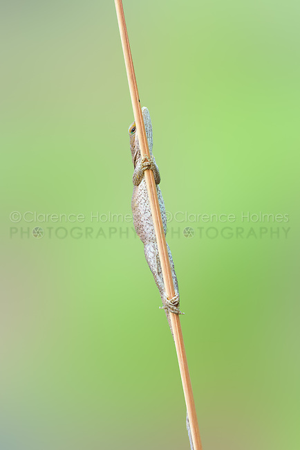 A female Carolina Anole (Anolis carolinensis) clings to a slender reed.