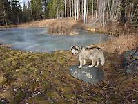 Koty at Walden Pond photos of siberian huskies, husky photos, pictures of siberian huskies, best photos of huskies, best photos of siberian huskies