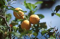 France/06/Alpes-Maritimes/St Jean Cap Ferrat: Citronniers - Détail citrons