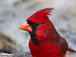 Northern Cardinal. Very Handsome.