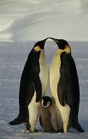 Aptenodytes forsteri Emperor penguin Adults & chick Dawson-Lambton Glacier, Antarctica