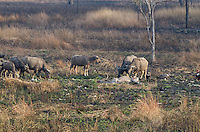 """Water Buffalo engage critially endangered Red-headed Vultures, White-rumped Vultures, and Slender-billed Vultures (Sarcogyps calvus, Gyps bengalensis, Gyps tenuirostris) as they feed on a dead cow at a """"vulture restaurant."""" (Cambodia)"""
