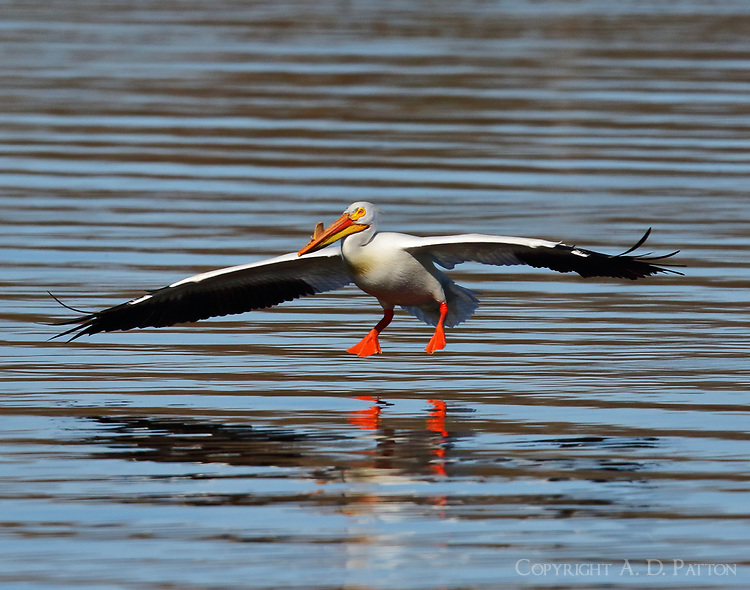 American white pelican in breeding plumage