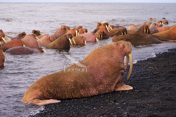 Walrus bull (Odobenus rosmarus) hauling out on Alaska Peninsula beach.