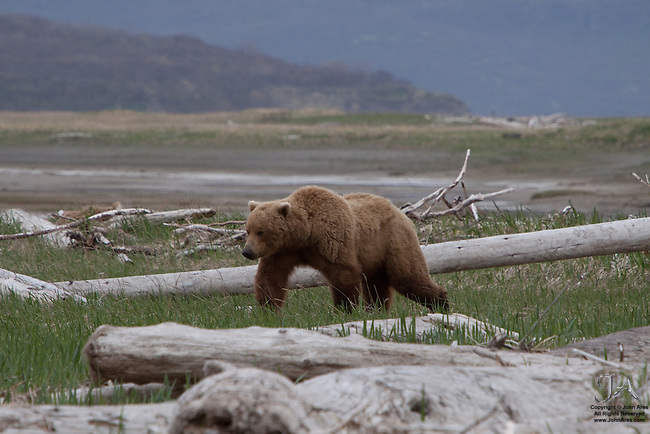 Adult Grizzly bear walking on tundra in Katmai National Park, Alaska