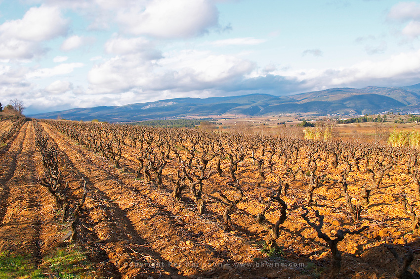 Domaine Jean Baptiste Senat. In Trausse. Minervois. Languedoc. Carignan grape vine variety. Vineyard in winter. France. Europe. Vineyard. Mountains in the background.