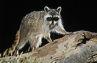 Northern Raccoon, Procyon lotor, adult at night on log with termites, Starr County, Rio Grande Valley, Texas, USA