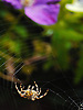 Autumn garden spider.<br />