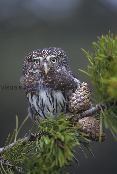 Northern Pygmy Owl (Glaucidium gnoma), North America.