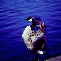 Canada Goose (Branta canadensis) flapping Wings - North American Birds and Geese