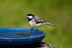 Black-capped Chickadee perched on a bird bath