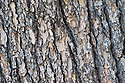 Trunk and bark of Atlas cedar (Cedrus atlantica).