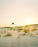 USA, Florida, Great Egret flying over desert at dusk, Destin