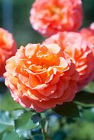 Rosa Adobe Sunrise aka Rosa Meipluvia, orange flowers, floribunda rose