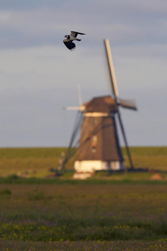 Lapwing (Vanellus vanellus) Texel, The Netherlands,