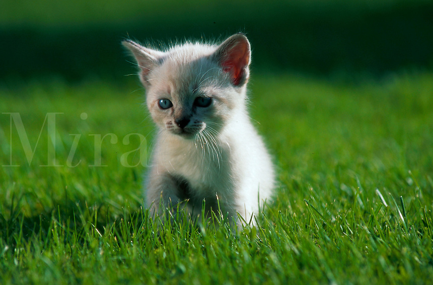 Portrait of a Himalayan tabby kitten sitting in grass.