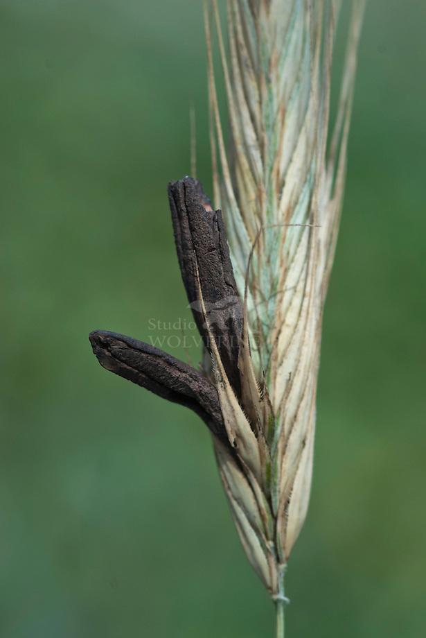 Echt moederkoren (Claviceps purpurea)