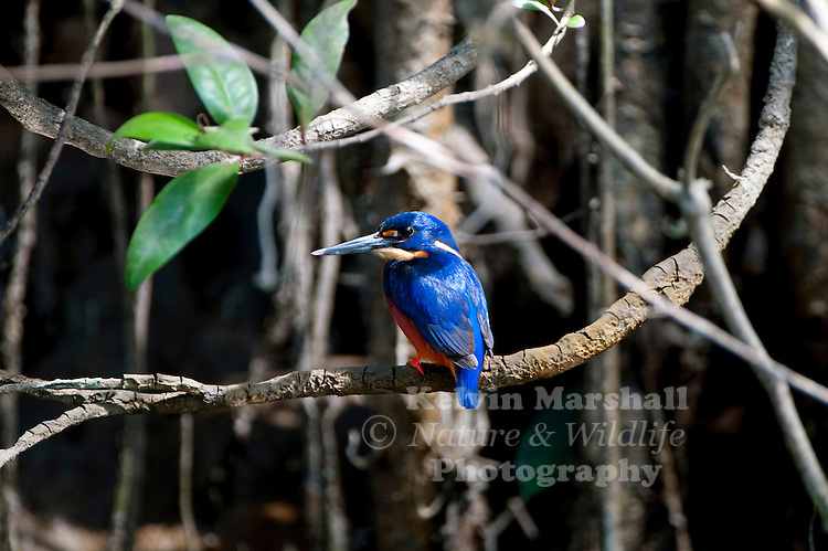 Azure kingfisher (Alcedo azurea) is a small kingfisher (17–19 centimetres (6.7–7.5 in), in the river kingfisher family, Alcedinidae. It is found in Northern and Eastern Australia and Tasmania, as well as the lowlands of New Guinea and neighbouring islands, and out to North Maluku and Romang.