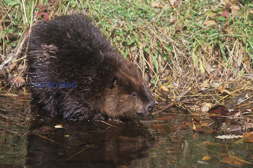 Beaver entering a pond (Castor canadensis), North America.