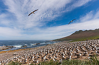 Black-browed albatross colony. Steeple Jason Island, Falkland Islands