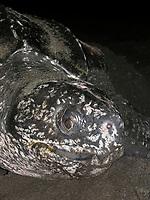 nesting leatherback sea turtle, Dermochelys coriacea, Dominica, West Indies, Caribbean, Atlantic