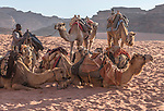 Dromedaries or Arabian camels, Camelus dromedarius, and their herder in the Wadi Rum Protected Area, a UNESCO World Heritage Site.