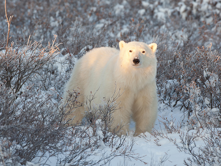 Polar Bear standing in a patch of snow amongst the brush