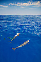 Pantropical Spotted Dolphin spouting, Stenella attenuata, off Kona Coast, Big Island, Hawaii, Pacific Ocean