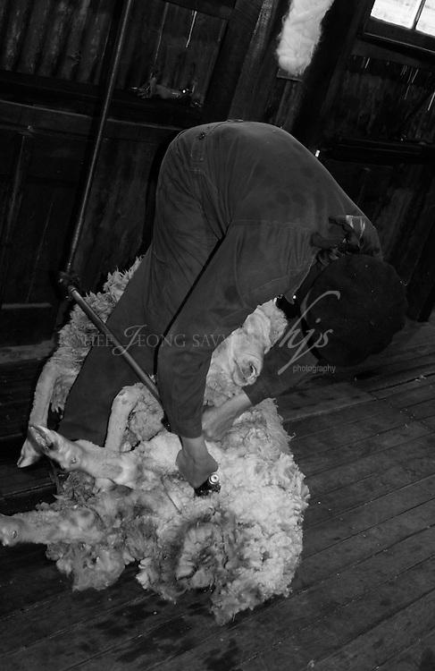 Shepherd shearing a sheep, Patagonia, Argentina | Feb 08