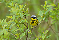 Magnolia Warbler (Dendroica magnolia), adult male, South Padre Island, Texas, USA