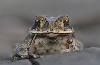 Gulf Coast Toad, Bufo valliceps, adult eating sheding skin, Texas, USA
