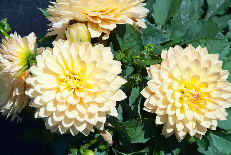 Dahlia 'Maxi Toluca' Dalina Series (yellow orange)